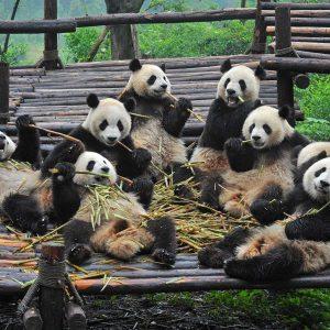 Centre des pandas de Chengdu