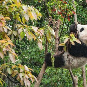 Centre des pandas de Dujiangyan