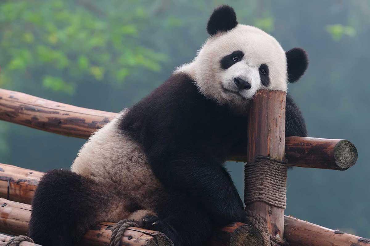 Famille BAYADA – Pékin, Yunnan et les pandas du Sichuan (20 jours)