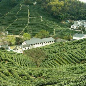 Plantations de thé Longjing - Hangzhou